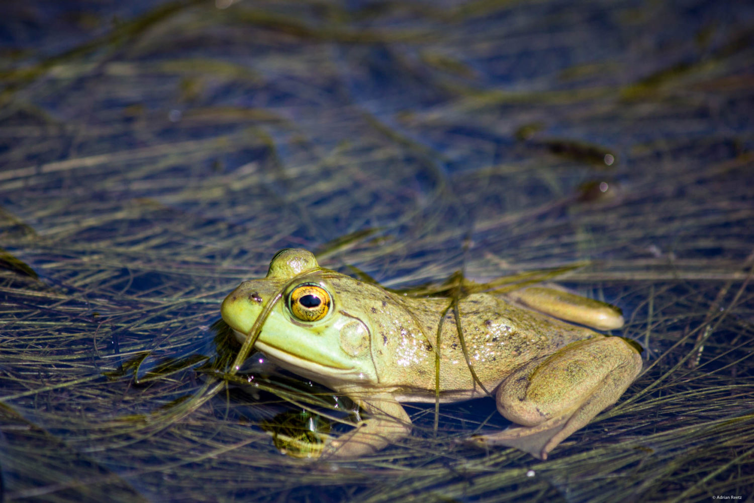 American bullfrog